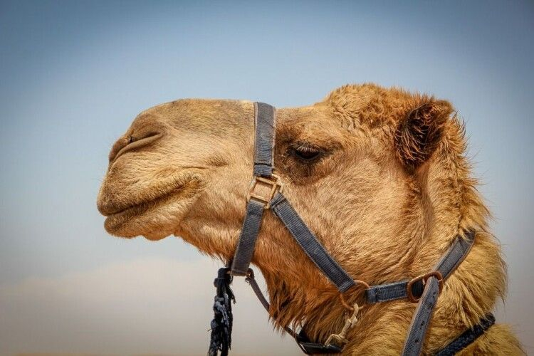 Коли селяни на своєму подвір'ї побачили верблюда, подумали, що «докарантинилися» (Фото)