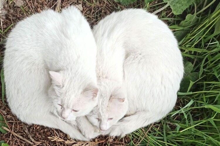 Як луцькі коти весну зустрічають (Фото)