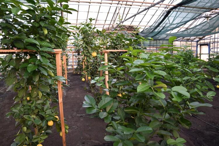 На Волині уже дозрівають лимони (Фото)