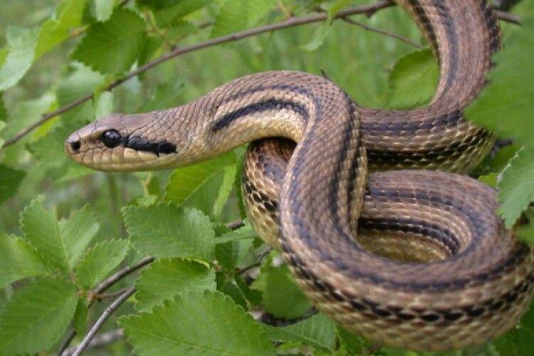 Двох дітей госпіталізували після укусу змії