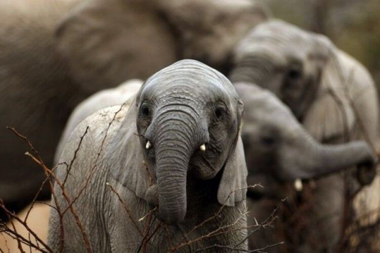 Влада Ботсвани дозволила полювати на слонів