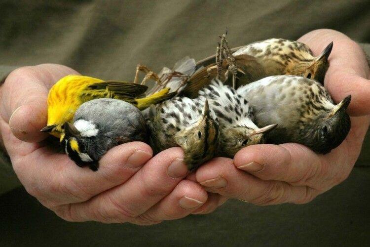 Вбивчі пестициди: чи існуватиме людство без птахів?