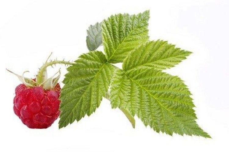 Коли найкраще збирати листя малини?