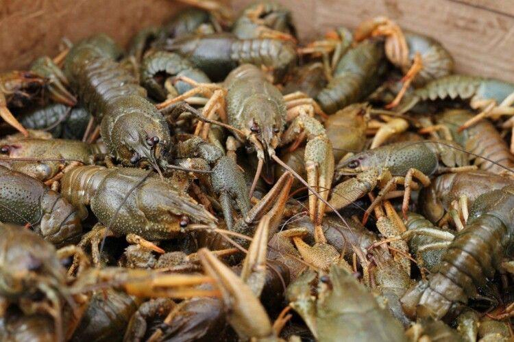 Біля «Варшавки» у Луцьку злапали дядька з двома кілограмами раків