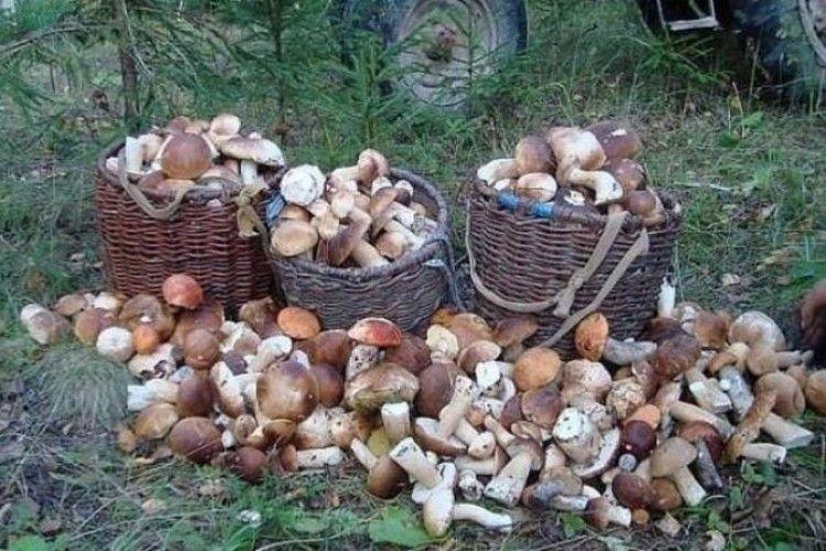 За день сім'я назбирала 100 кілограмів білих грибів!