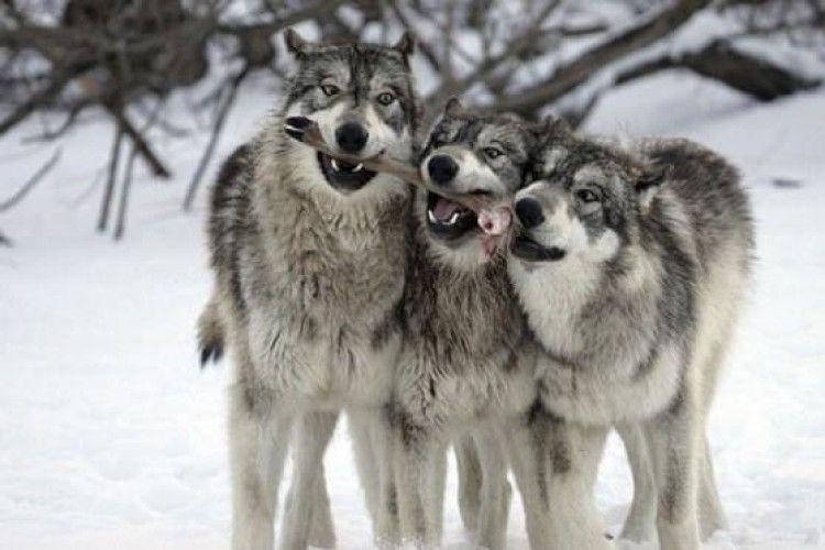 Білоруських вовків приманює на Волинь велика кількість дичини