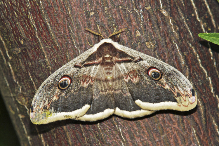 Найбільшого метелика Європи знайшли на Рівненщині