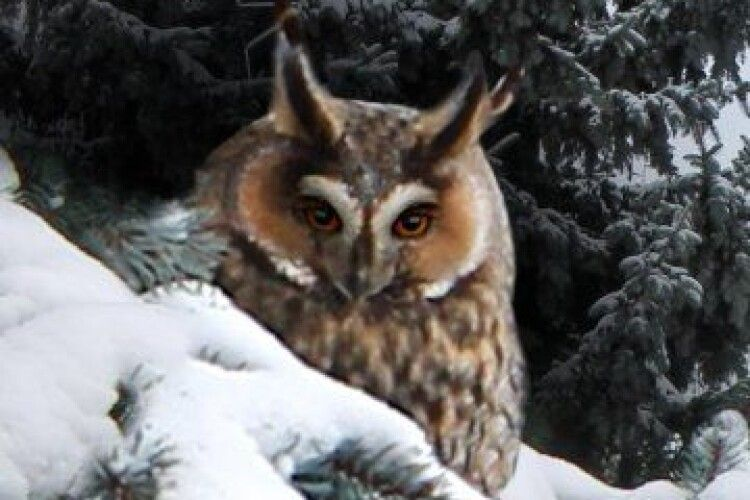 На території управління «Волиньобленерго» живе родина сов