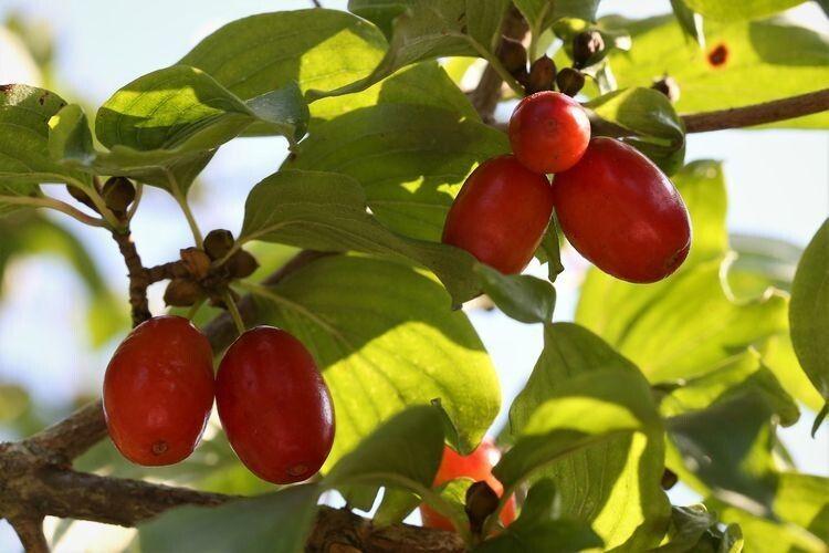 Найбільший у світі кизиловий сад зібрав 10 тонн ягід
