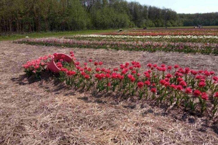 На полі – три гектари тюльпанів: стартував фестиваль «Волинська Голландія» (Фото)