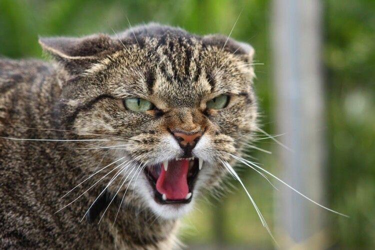 Через скажену кішку в Рівному вводять карантин