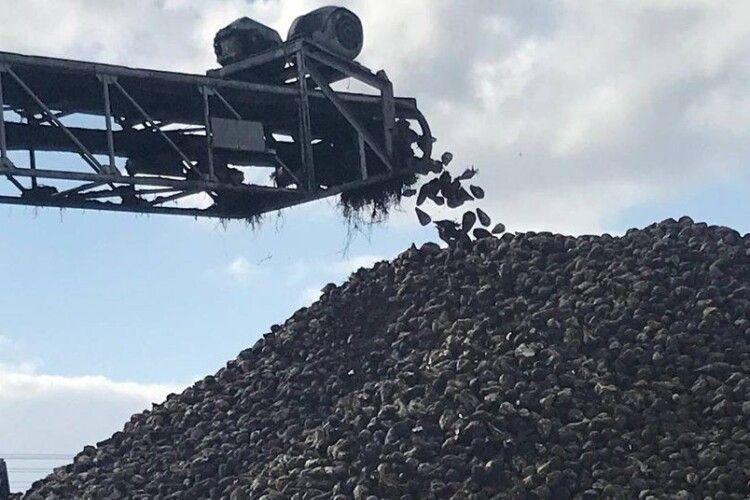 На цукровому заводі в Луцьку планують переробити 300 тисяч тонн буряків (Фото)