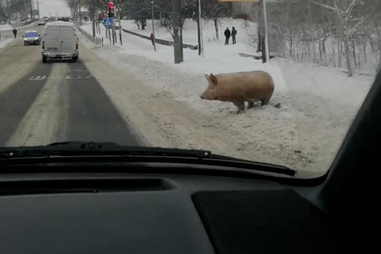 Що робить порося на вулиці?