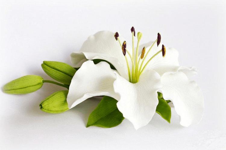 Білою лілією і любуюсь, і лікуюсь