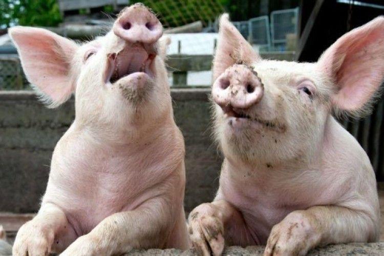 Свиня напала на м'ясників, аби врятувати «побратима»