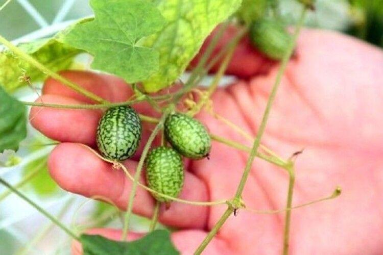 Аграрії почали вирощувати 5-грамові міні-кавуни зі смаком огірка