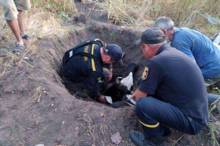 Щоб врятувати корову, довелося викопати колодязь (Фото)