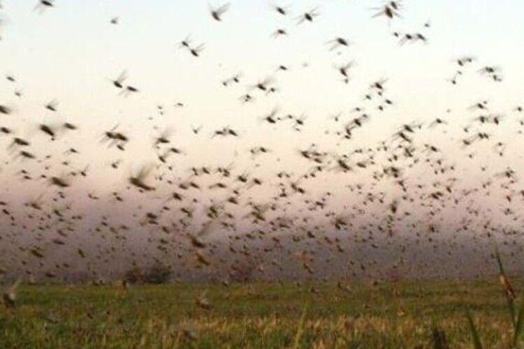 «Кара небесна»: урожай в окупованому Криму атакує новий вид сарани