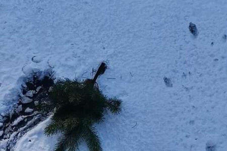 У Луцьку новорічну cосну викинули просто з балкона