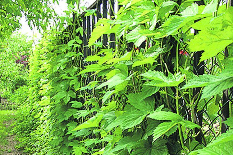 Прикрасьте обійстя  зеленою стінкою