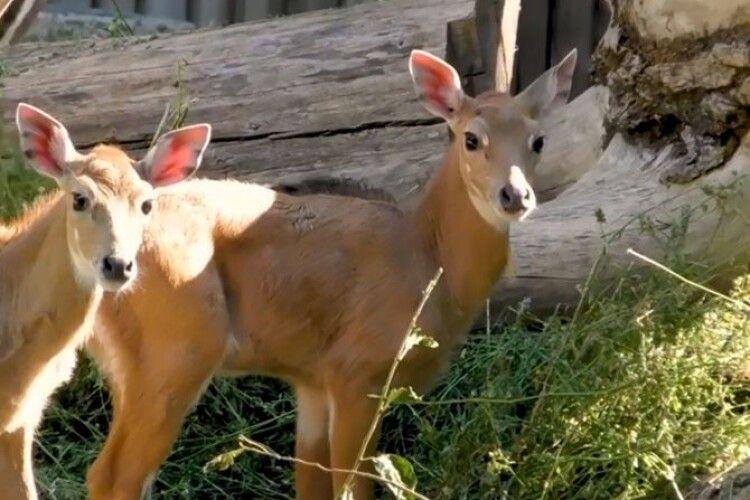 Антилоп Малік наантилопив антилопі Мушці двох дитинчат-антилопенят (Відео)