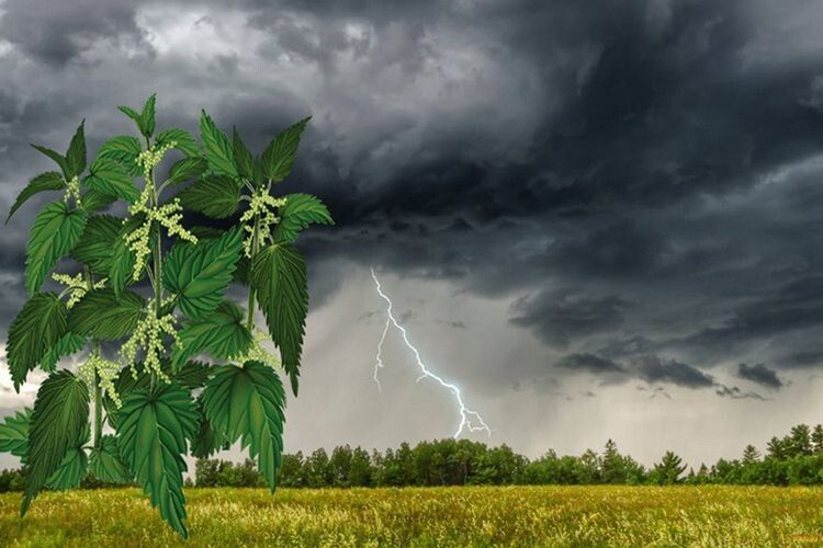 Рослина, що заміняє сім лікарів. Народна медицина