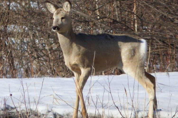 На Волині браконьєри стріляли у косулю… за 100 метрів від школи