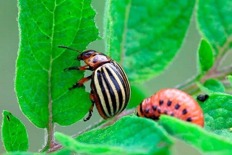 Через COVID-19 в Україні можуть остаточно зникнути колорадські жуки