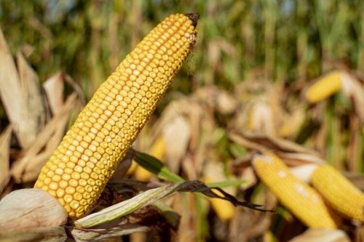 Названо область України, на ланах якої намолочують по 10 тонн кукурудзи з гектара