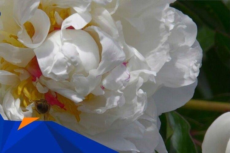 Початок червня – час квітування трав'янистих півоній
