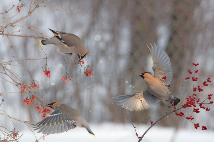 На Рівненщині фотомисливець зазнімкував птахів, які полюбляють хильнути плодово-ягідного й добряче похуліганити