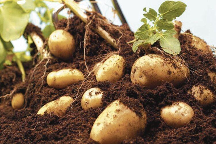 Ізоднієї сотки – 440кілограмів: як визначити урожайність картоплі