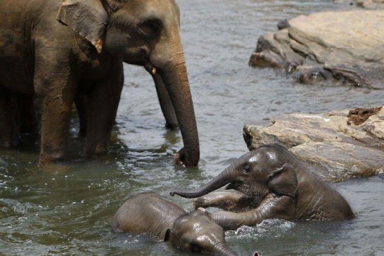 Вперше за 80 років на Шрі-Ланці народилися слоненята-близнюки