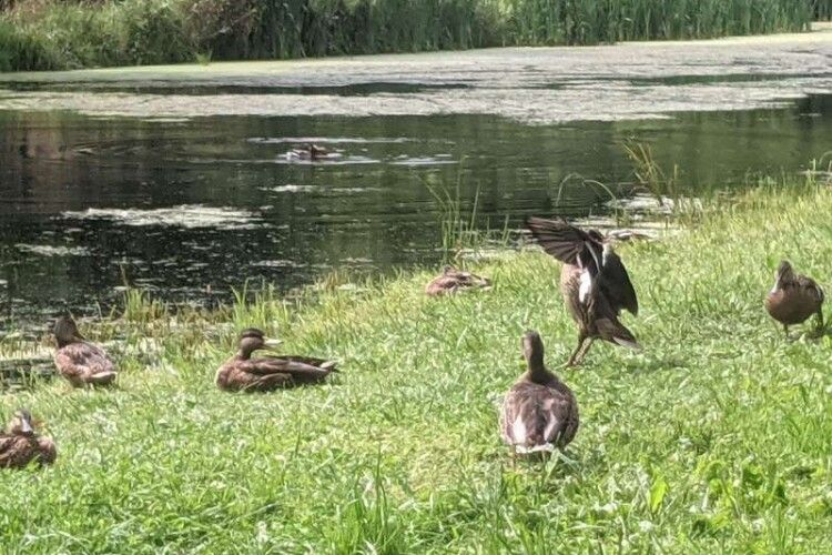 У центральному парку Луцька чоловік на очах в дітей забив камінням качку