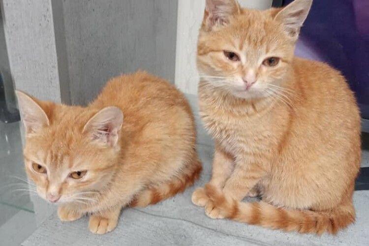 У Луцьку шукають своє котяче щастя дві хвостаті «мандаринки» (Фото)