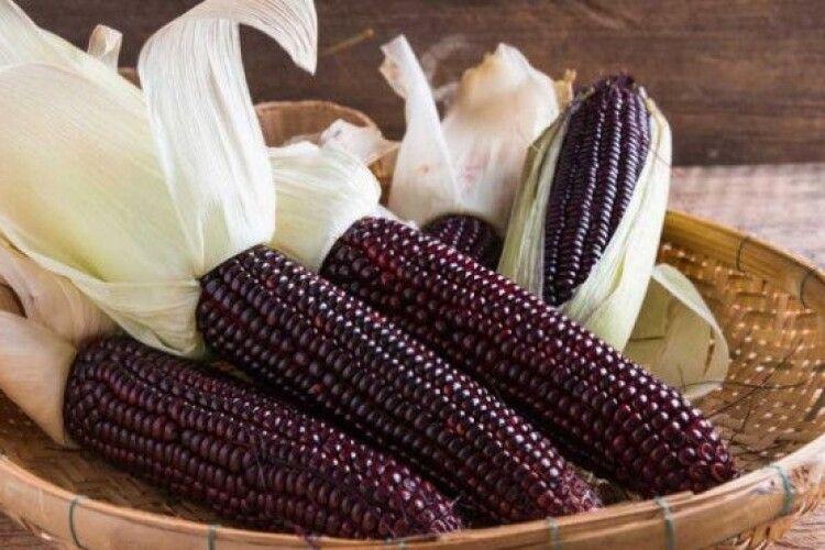 У нас набуває популярності дієтична фіолетова кукурудза