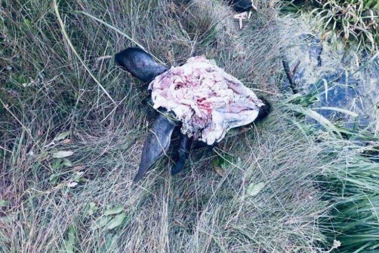 На Волині біля дороги браконьєри викинули залишки вбитого лося (Фото)