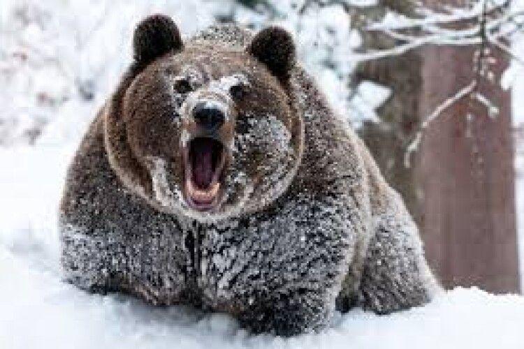 На Алясці ведмідь напав на лижника (Відео)