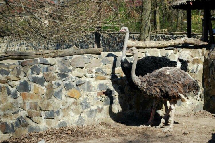 У Рівному страус вже гуляє «під ручку» зі страусихою, а пеліканам кортить якнайшвидше зробити колективне «купці-купці» (фото)