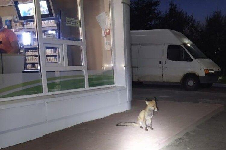 На автозаправку у Нововолинську прийшов... лис