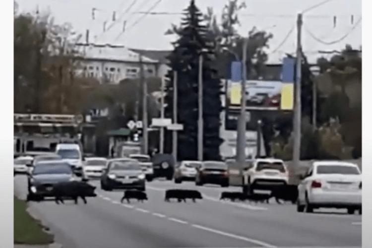На вулиці одного з українських міст кабани зупинили рух автомобілів (Відео)