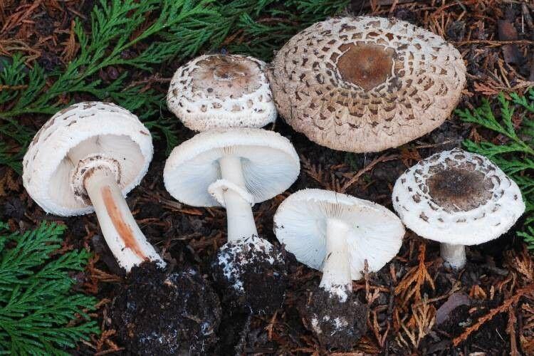 На Рівненщині мати та донька поїли грибів і потрапили в реанімацію