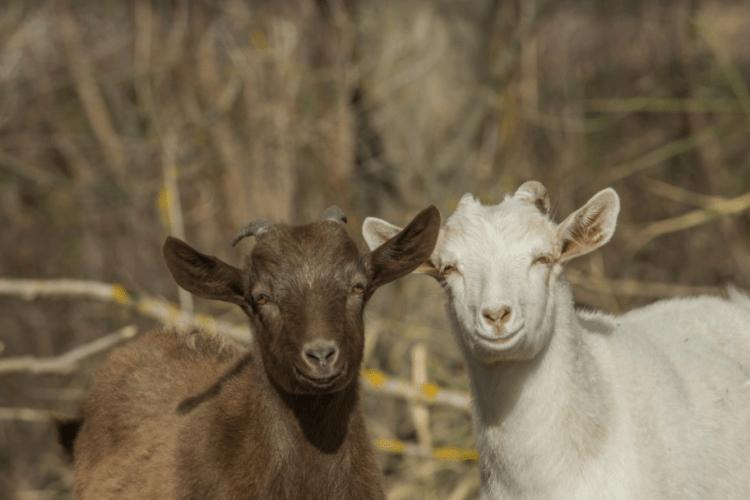 Канал пані Люби «Я і мої кози» – відкриття українського сегменту YouTube (Відео)