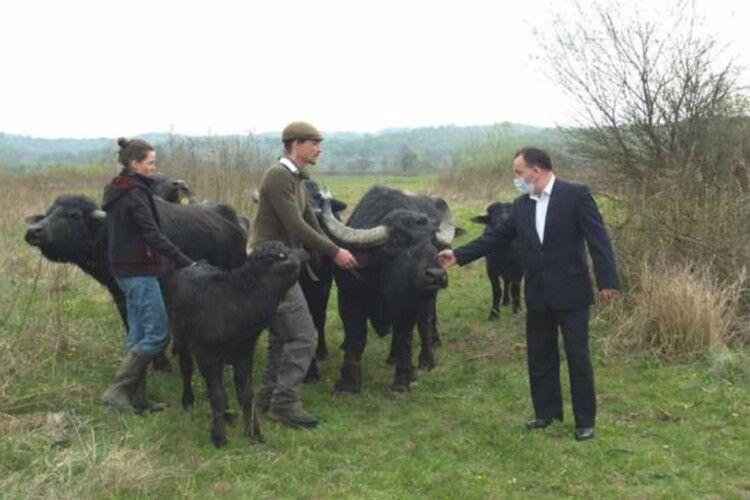Карпатські буйволи «повернулися» в Долину нарцисів через 100 років