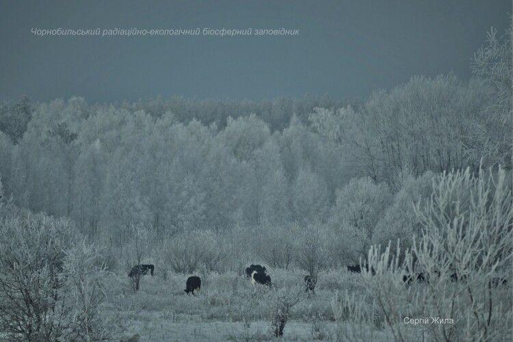 Здичавілим коровам Чорнобильської зони доводилося розгрібати сніг мордами (Фото)