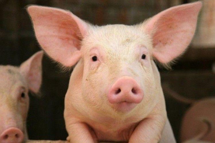 Свиня з Турійщини може стати всеукраїнським символом року