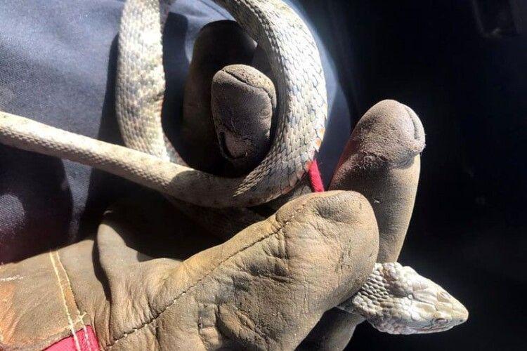 На батьківщині Зеленського бійці ДСНС впіймали у дворі багатоповерхівки метрову зміюку