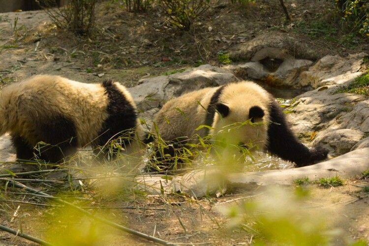 Карантинний інтим: панди чекали 10 років, щоб зайнятися сексом без глядачів