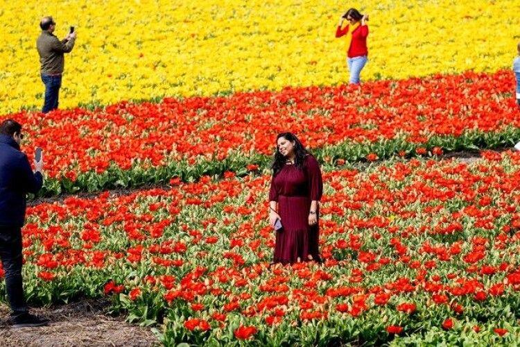 Фермери косять тюльпанові поля, щоб уникнути скупчень людей