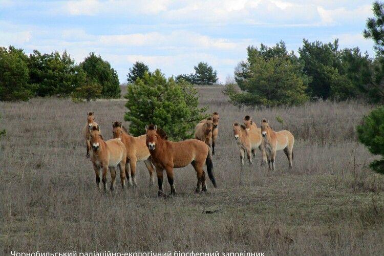 Під Чорнобилем табун коней Пржевальського готується до зустрічі зими